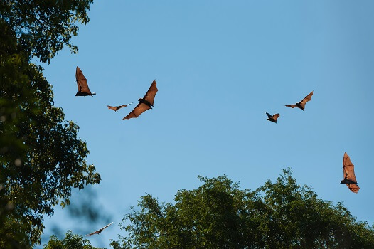 Madagascan flying foxes
