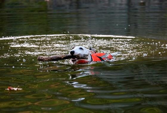 Mini bull terrier swimming
