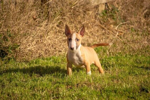 Brown mini bull terrier in the grass