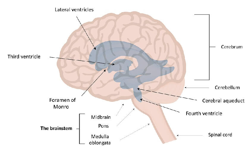 ventricles brain lateral third fourth monro magendie luschka