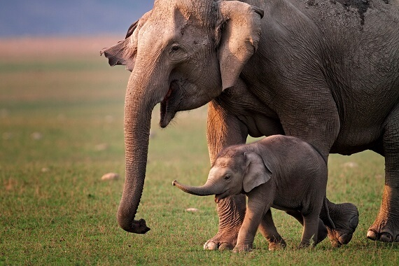 A female Asian elephant and her calf in a meadow