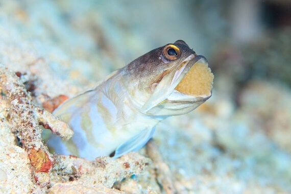 a jawless fish carrying its eggs in its mouth