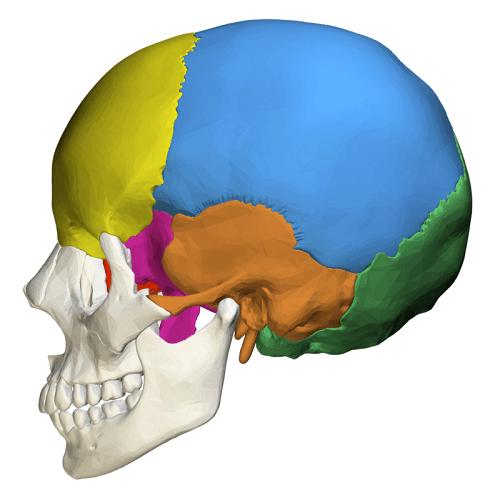 cranial bones neurocranium