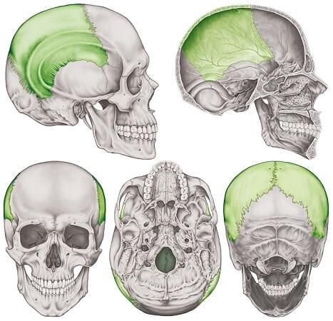 parietal bone skull cranial bonescranium basocranium