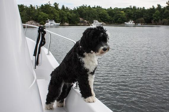A Portuguese Water Dog in a boat