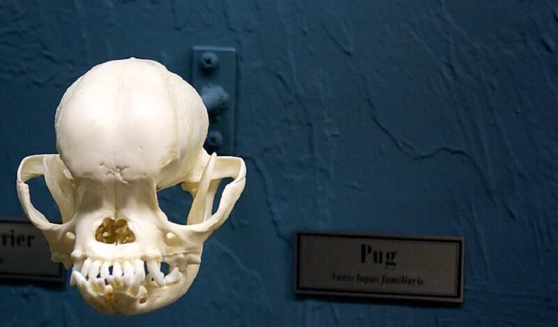 pug skull dog canine