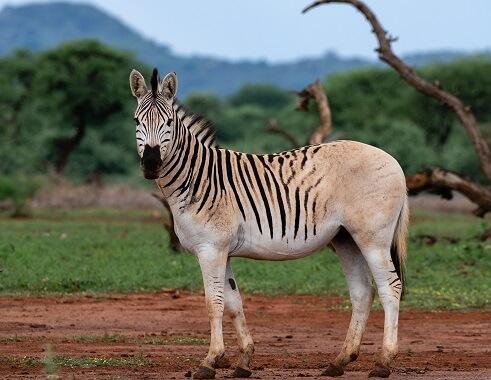 Plains zebra with a plain brown rump
