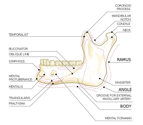 ramus rami mandible body lower jaw