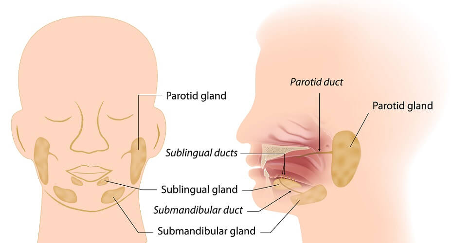 salivary gland glands sublingual submandibular parotid