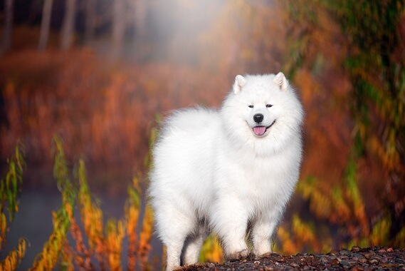 A samoyed surrounded by trees in fall colors