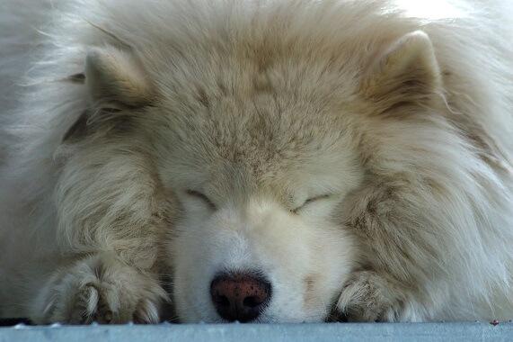 A samoyed sleeping