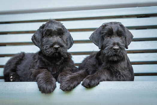two black schnauzer puppies
