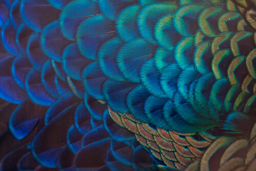 Peacock feathers are iridescent blue and green, appearing almost metallic in nature