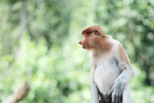 A proboscis monkey against a forest backgrop