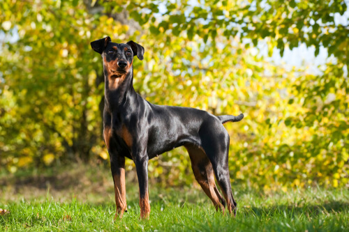 A German Pinscher standing alert with deciduous trees in background