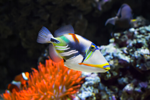 A triggerfish swimming with a colorful reef in the background