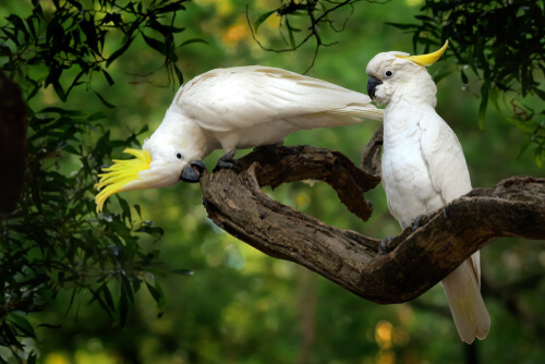 Two white cockatoo on a tree branch