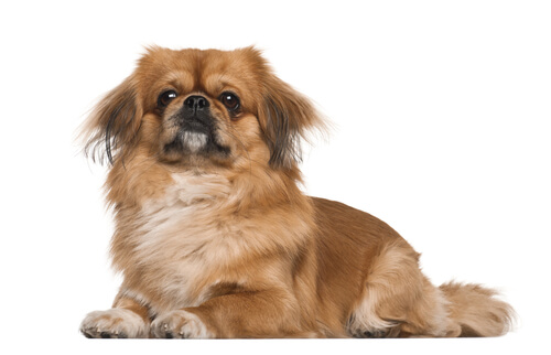 An adult Pekingese laying down against a white background
