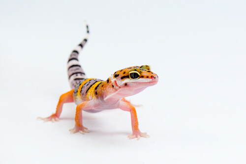 A leopard gecko standing alert on a white background