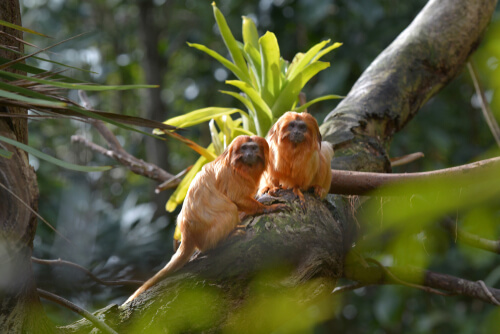 Two golden lion tamarins sitting on a tree branch in the forest