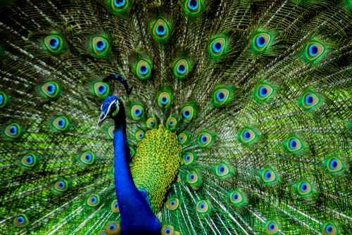 A common peacock with its covert feathers extended