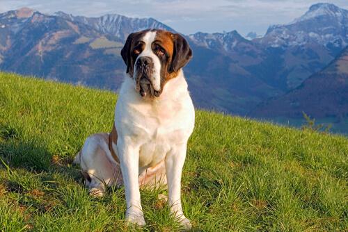 A Saint Bernard dog sitting on the grass with a mountainous backdrop