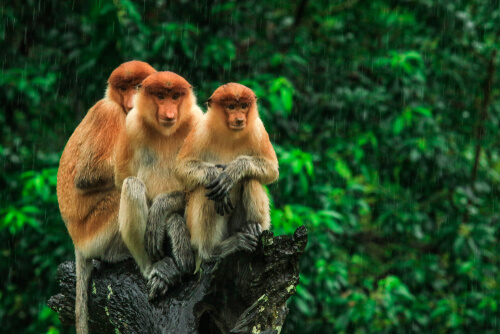 Three proboscis monkeys sitting together on a tree branch