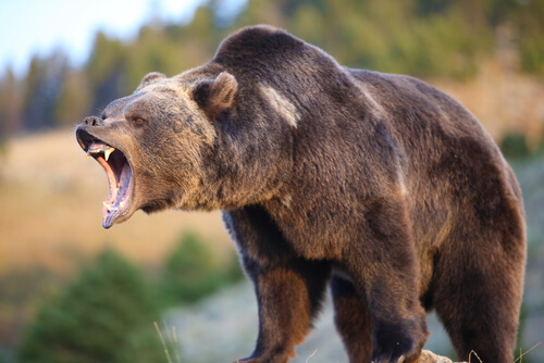 A roaring kodiak grizzly against a forest backdrop