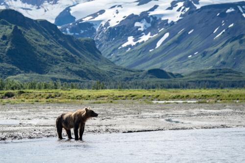 A Kodiak bear standing in the shallows amongst dramatic coastal mountains