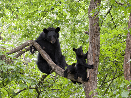 A mother black bear and two cubs resting in a tree
