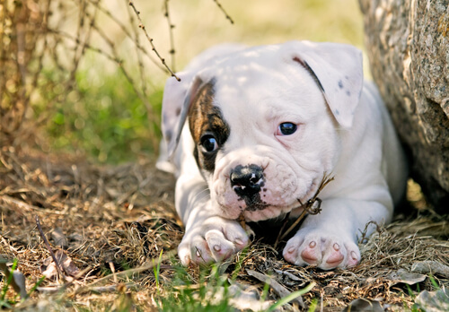 A mostly white American Bulldog puppy lying beside a rock