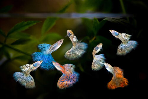 Several male guppies with various colour morphs
