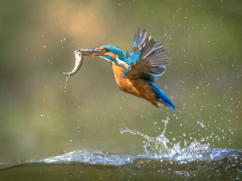 A common European kingfisher emerging from the water with a small fish in its bill