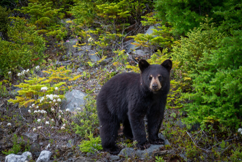An American Black Bear standing on a forestes slope