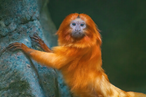 A tamarin with its front paws against a tree