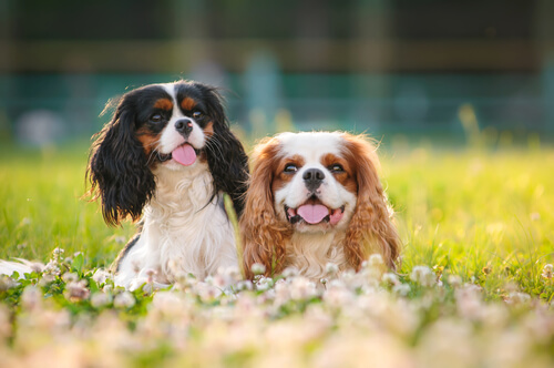Two King Charles spaniels in a field