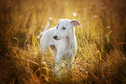 A whippet puppy standing alone in a field of tall grass