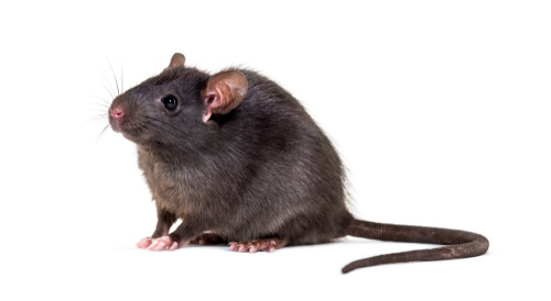 A black rat against a white background