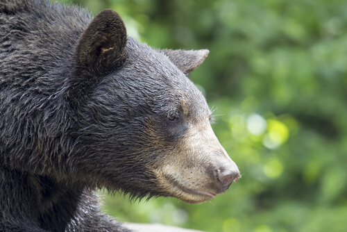 A close-up of an American Black Bear face