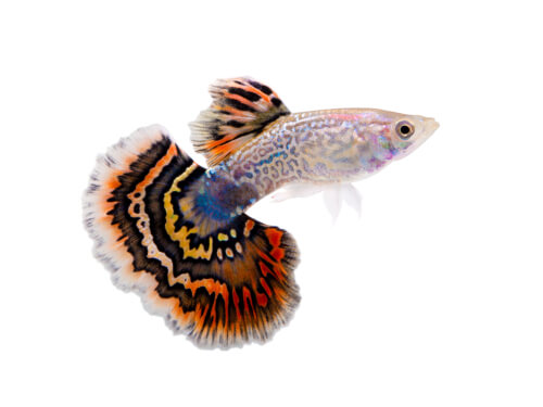 A male guppy against a white background