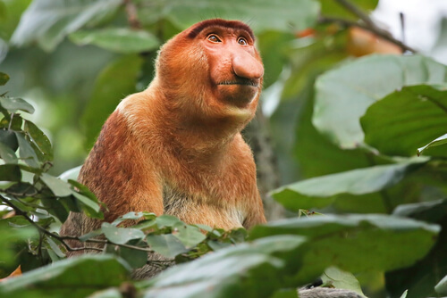 A male proboscis monkey looking up from his perch in the trees