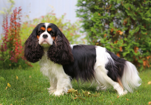 A King Charles spaniel profile standing in a flowery yard