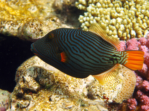A green and black-striped Triggerfish with a yellow coral reef in the background