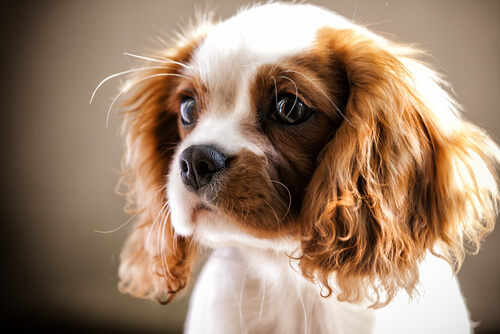 A portrait of a King Charles spaniel
