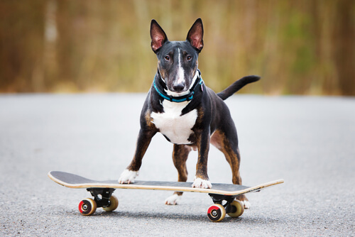 A bull terrier standing with its front paws on a skateboard