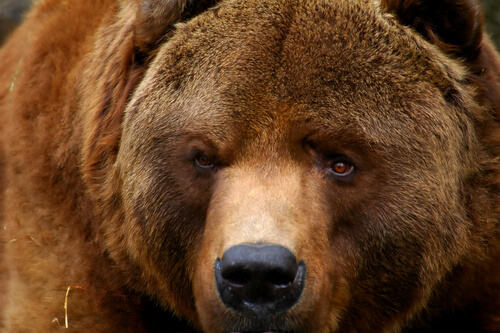 A kodiak bear portrait
