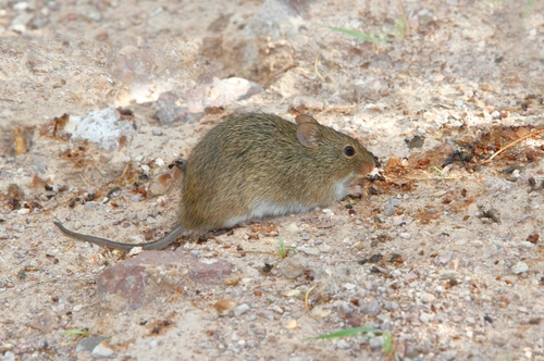 A pack rat walking on the rocky ground