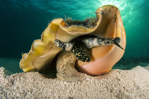 A queen conch emerging from its shell on the sea bottom