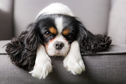 A King Charles spaniel lounging on a couch