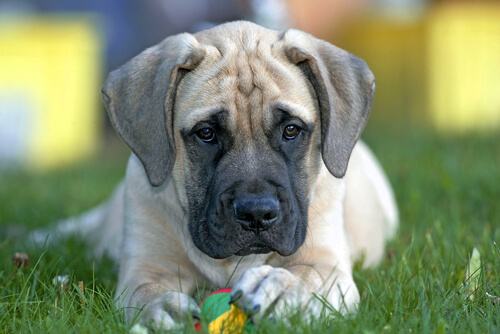 An English mastiff puppy holding a ball lying in the grass